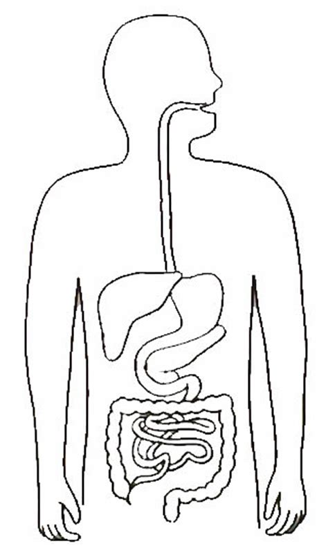 blank digestive system diagram resources