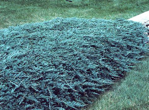 Juniperus Blue Rug by Blue Rug Juniper