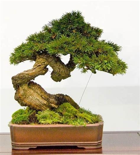 vasi per bonsai grandi coltivare bonsai attrezzi e vasi per bonsai come