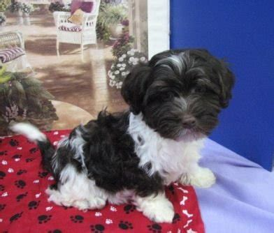 free puppies in tulsa sweet loving registered havanese puppies for sale adoption from hulbert oklahoma tulsa