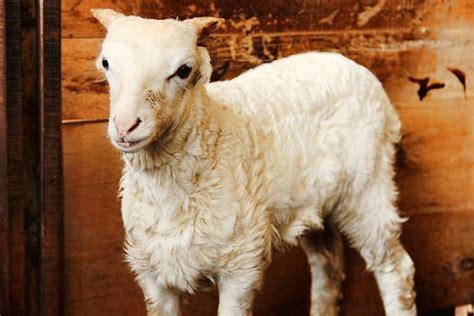 Bibit Domba Garut berwisata sambil melihat domba garut yang perkasa