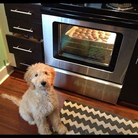 doodle acres ontario puppy mill 18 best images about i goldendoodles on