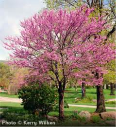 Redbud Tree Buy Affordable Eastern Redbud Trees At Our Online Nursery