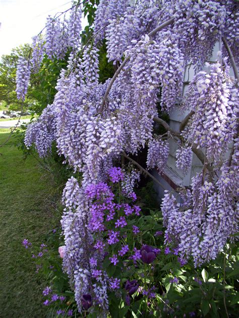 plantfiles pictures chinese wisteria wisteria sinensis