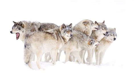 Seven White Wolves pack behavior what is a wolf pack mentality howstuffworks