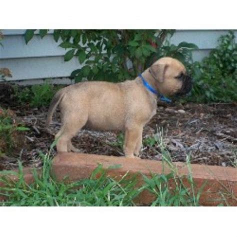 bullmastiff puppies michigan girlshopes
