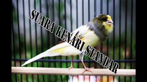 gambar burung kenari ys downloadjpg