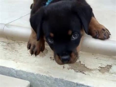 what to feed 6 week puppy rottweiler puppy 6 weeks funnydog tv