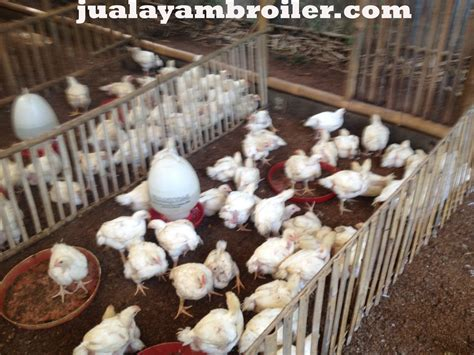 Jual Bibit Ayam Broiler Di Tangerang jual ayam broiler di pondok cabe tangerang selatanjual