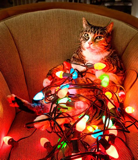 a very christmassy cat