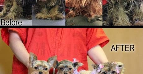 yorkie puppies chicago chicago yorkie rescue archives romp italian greyhound rescue chicagoromp italian