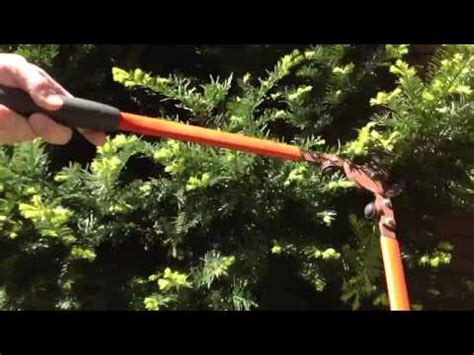 how to prune a japanese yew youtube