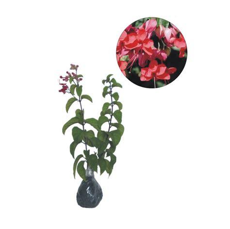 Bibit Tanaman Hias Sirih jual bibit tanaman murah nona makan sirih merah pulau