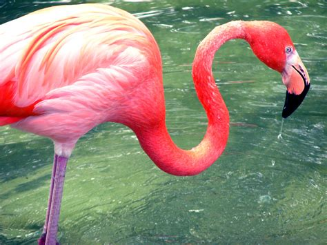 pink flamingos flamingos images flamingo hd wallpaper and background photos 35634886 page 2
