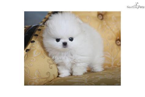 pomeranian puppies edmonton pomeranian puppy for sale near edmonton alberta 42bb77eb 3cb1