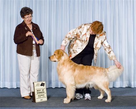 golden retriever society the golden retriever society dogs in our photo