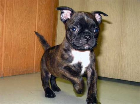 pugs in a bug i want one its called a bug a boston terrier pug mix how adorable my babies