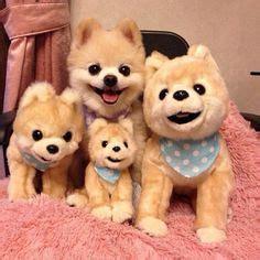 shunsuke pomeranian for sale shunsuke puppies for sale teddy cut pomeranian how the o