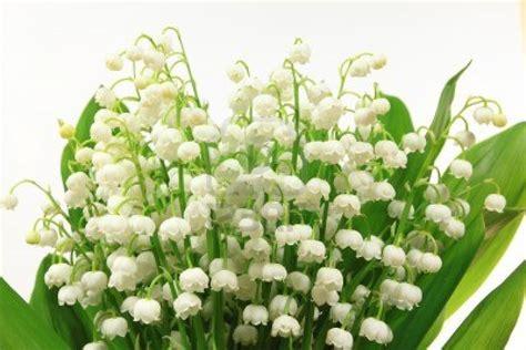 fiori di mughetto 9958943 fiori di mughetto convallaria majalis mazzo di