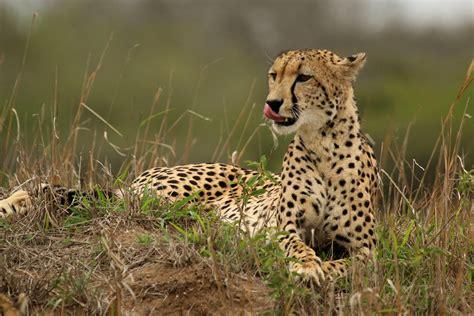 south african cheetah simple english wikipedia the free file cheetah acinonyx jubatus female 2 jpg wikipedia