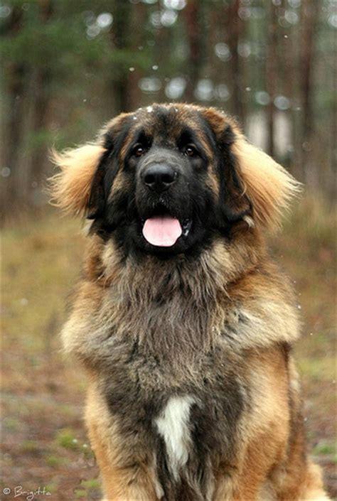leonberger german mountain leonberger german mountain dogs myideasbedroom