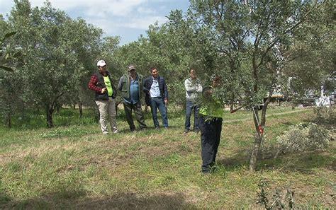 potatura olivo vaso policonico successo per il 1 176 cionato regionale di potatura dell