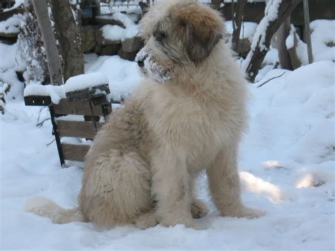 winter puppy winter mioritic photo and wallpaper beautiful winter mioritic pictures