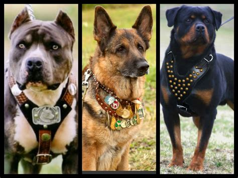 most aggressive breeds aggressive breeds of dogs goldenacresdogs