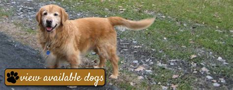 golden retriever rescue dc grreat golden retriever rescue education and a md va pa de wv and