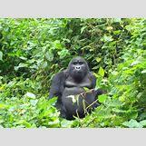 Mountain Gorilla Habitat   720 x 540 jpeg 131kB