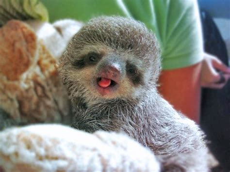 Cute baby sloth!!   Cute Animals   Pinterest