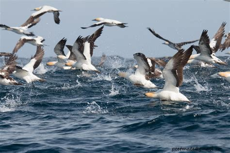 wildcare cape cod an avian mystery sick dying seabirds washing up on cape