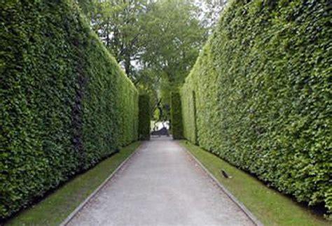 ficus nitida hedge drought tolerant hedges a gardener s thoughts fancies