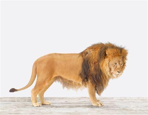 lion print lion no 2 the animal print shop by sharon montrose