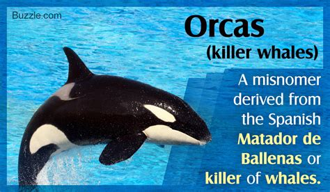 Or Of Why Are Orcas Called Killer Whales Here S The Surprising Answer