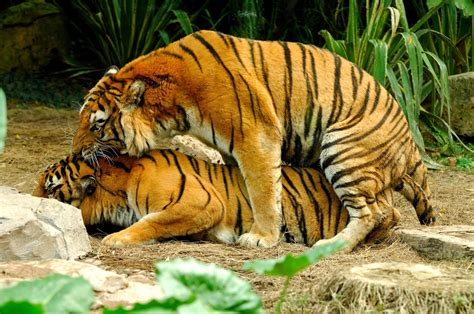bengal cats breed of cats animal mating and tiger mating