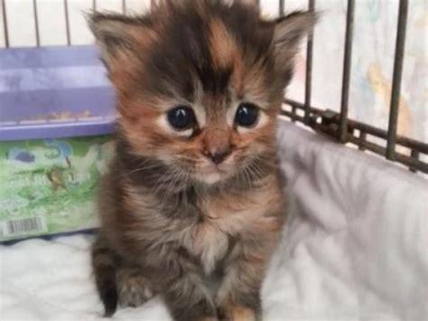 petco adoption image gallery kittens at petco