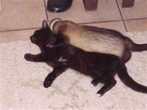 pvc boden und katzen frettchen