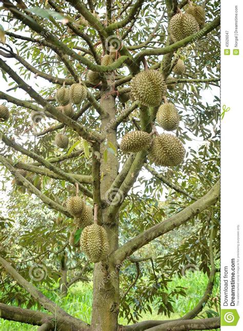 durian trees stock photo image