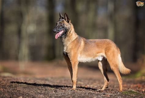 Belgian Shepherd Dog Dog Breed Information, Buying Advice