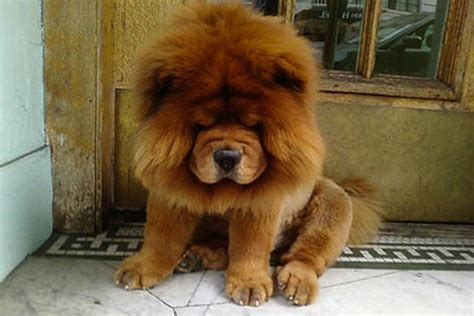 dogs that look like lions these lions to the dogs