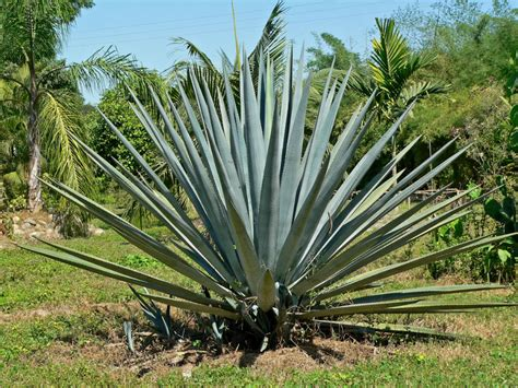 agave tequilana blue agave tequila agave world of