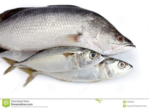 Sarden Mackerel Botan A1 2 up of fresh fish stock photo image of fillet 21090284
