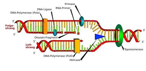 explain how dna serves as its own template during