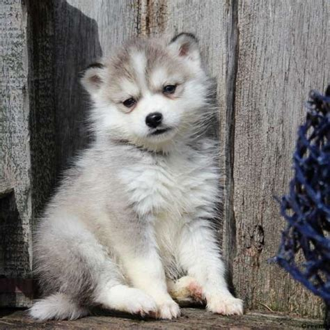 huskimo puppies bingo huskimo puppy for sale in ohio