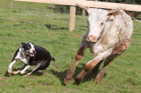 cow puppy hanging tree cow sales services and cattle services piercescowdogs