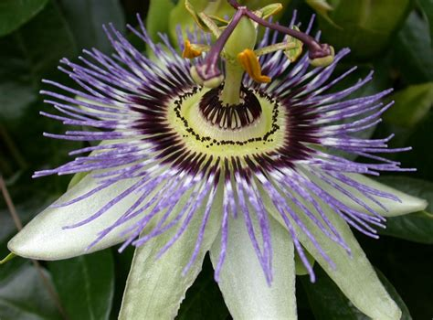 Bibit Markisa Ungu tanaman passiflora ungu purple flower