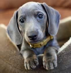 4 week old australian shepherd puppy slinky the dachshund puppies daily puppy