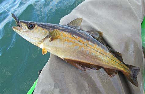 pollock fish www pixshark com images galleries with a bite