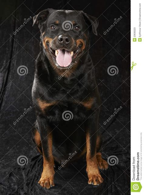 purebred rottweiler puppies for sale in nj pin bred rottweiler puppies cape town dogs and junk on